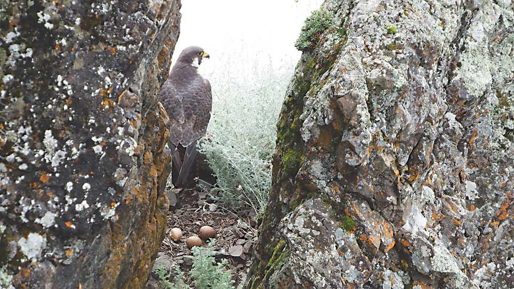2032-Falcon-with-eggs
