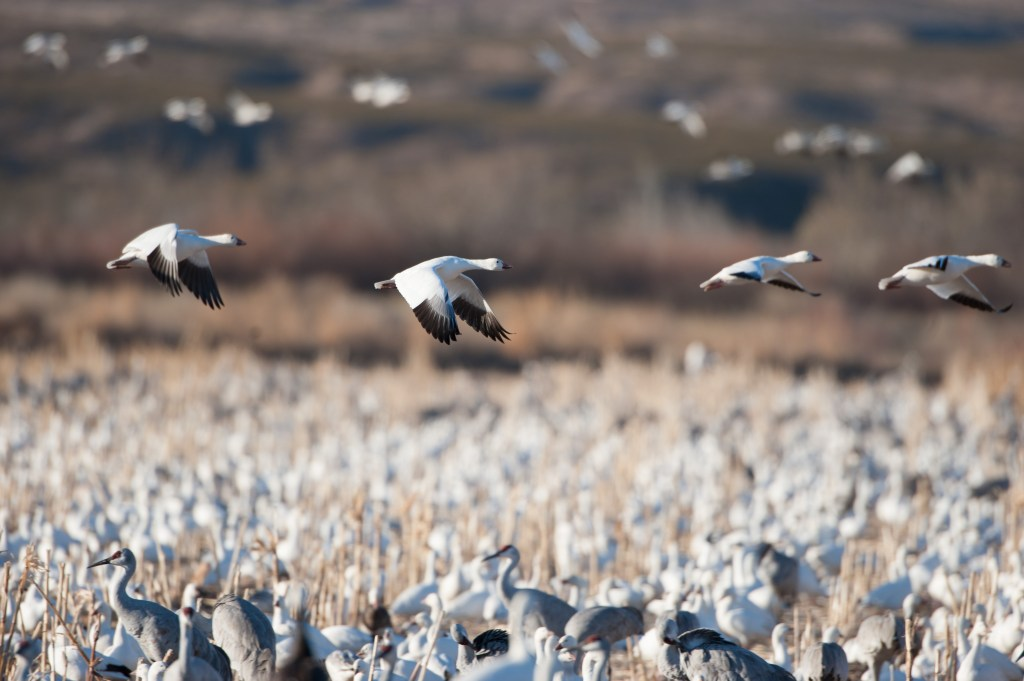 snow geese cranes and other waterfowl