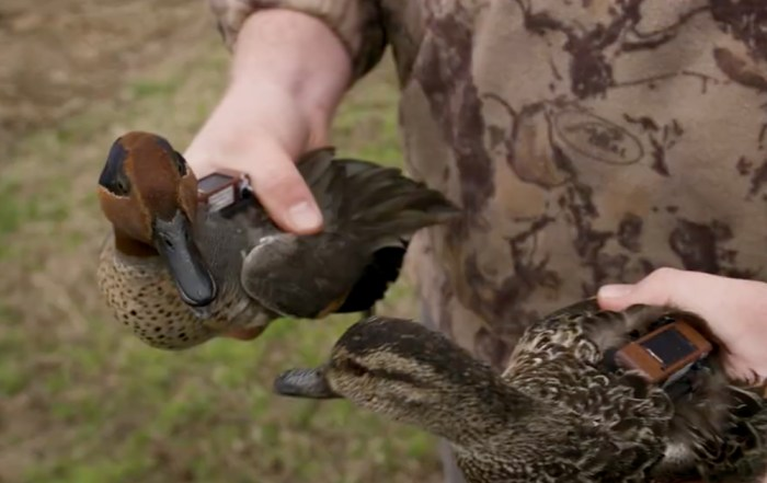 dabbler duck tracking projects with delta waterfowl