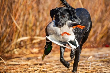 black lab and mallard duck positive