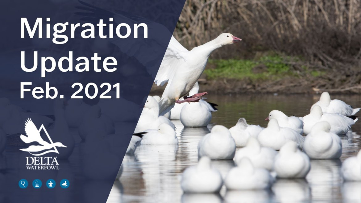 Migration update feb 2021 from Delta Waterfowl