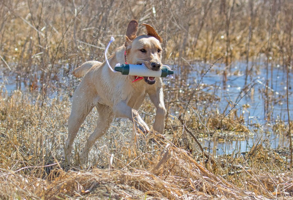 eukanuba duck dog practices retrieves with a bumper
