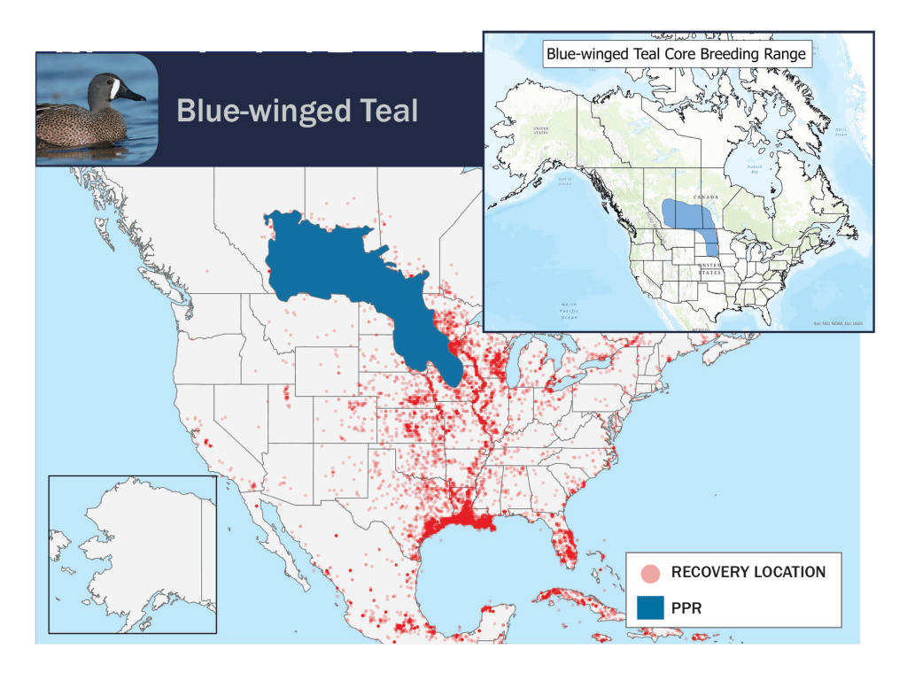 blue-winged teal PPR band maps