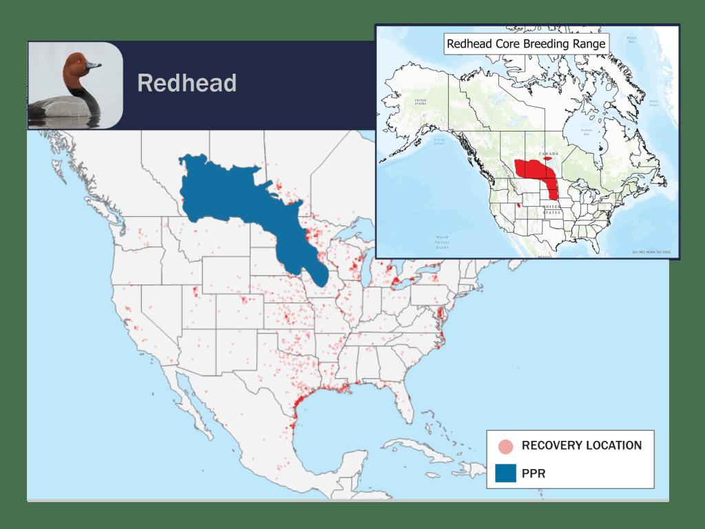 redhead ducks PPR band map