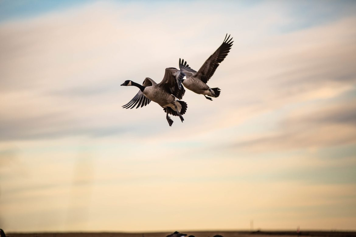 canadian geese early hunting season september 1