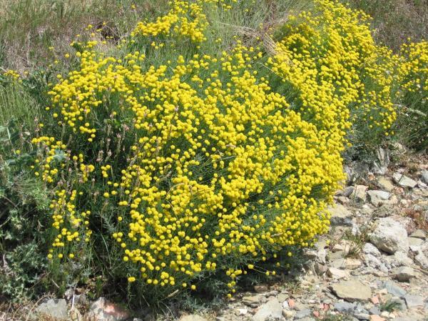 230-plantas-medicinales-mas-efectivas-y-sus-usos-abrotano-planta