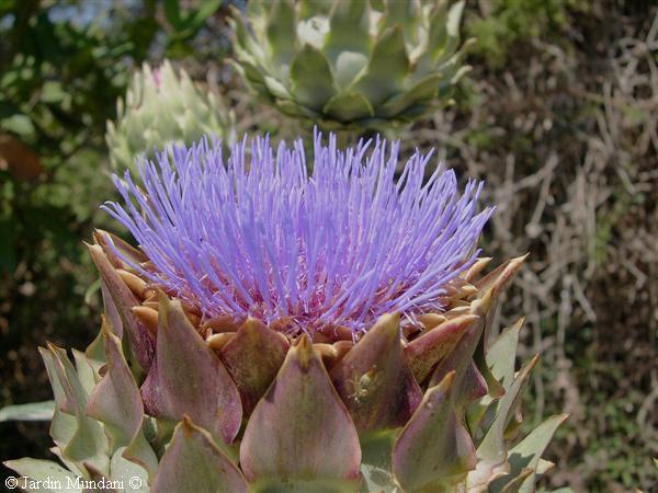 230-plantas-medicinales-mas-efectivas-y-sus-usos-alcachofera-hojas