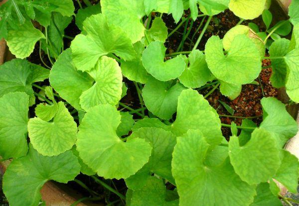 230-plantas-medicinales-mas-efectivas-y-sus-usos-centella-asiatica-planta