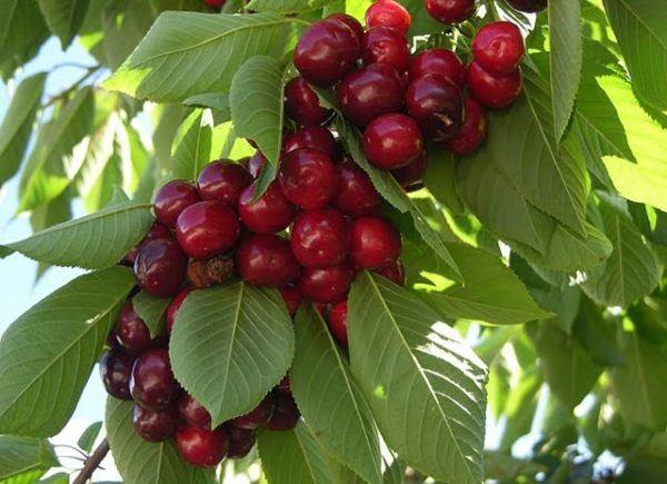 230-plantas-medicinales-mas-efectivas-y-sus-usos-cerezas-rabos
