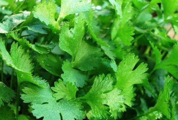 230-plantas-medicinales-mas-efectivas-y-sus-usos-cilantro-cribado