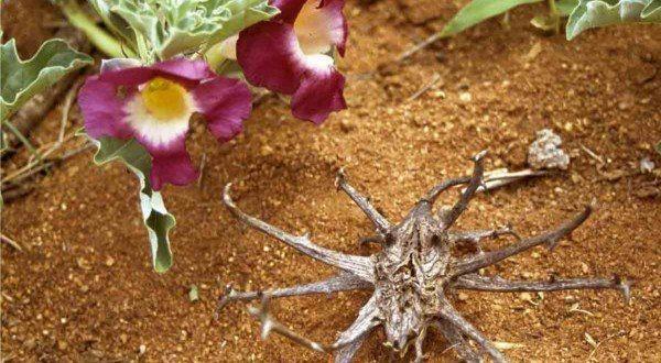 230-plantas-medicinales-mas-efectivas-y-sus-usos-harpagofito-raiz