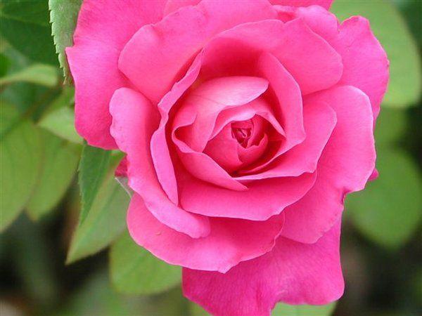 230-plantas-medicinales-mas-efectivas-y-sus-usos-rosa-flor-entera