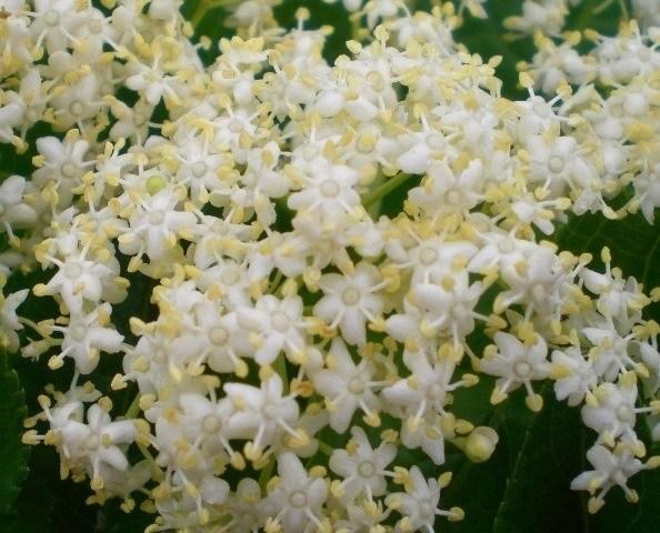 230-plantas-medicinales-mas-efectivas-y-sus-usos-sauco-flor