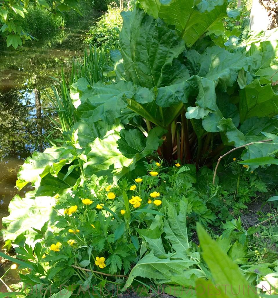 rabarber planten in de moestuin