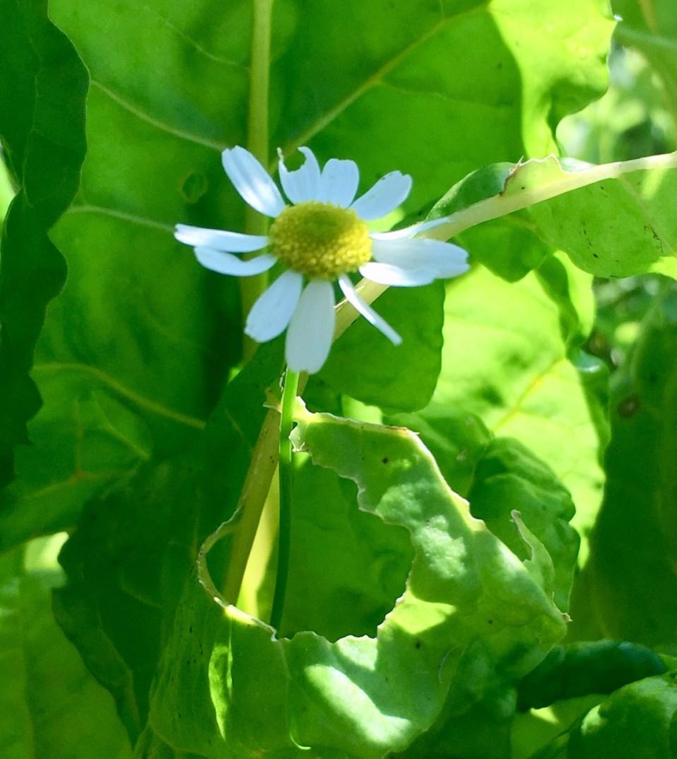 favorieten van de Meisjes: eetbare bloemen