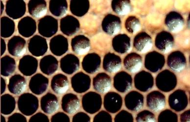 Enfermedades Bacteriales de la Cría Loque Europea