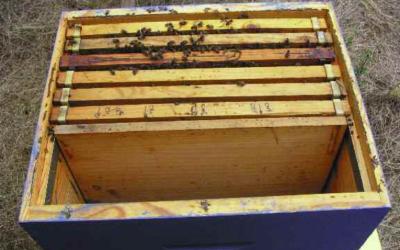¿Cómo regulan las abejas su temperatura?