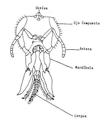 Cabeza de la abeja obrera