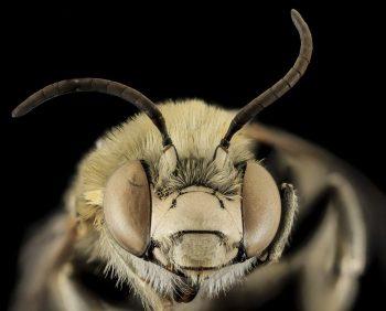 Anatomía de la abeja obrera