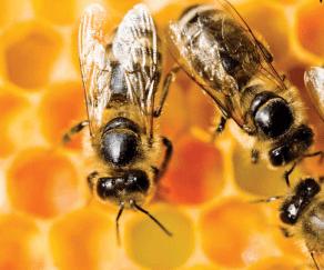 El declive de las abejas
