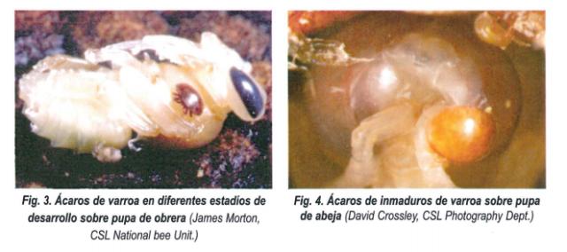 Cómo se ven las varroas en las pupas de abejas.