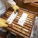 Tratamiento de la varroa con ácido oxálico