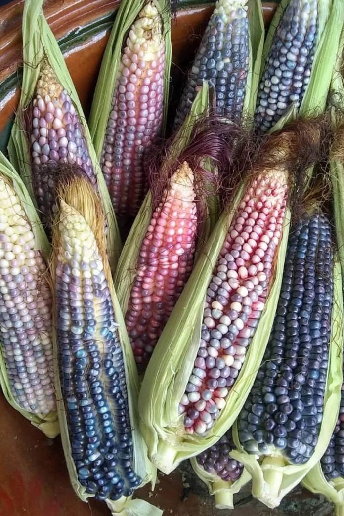 Mexican Creole corn elotes tlalpan cdmx collective women of the earth