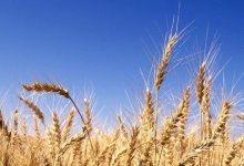 Photo of اثر العوامل الاقتصادية لسد الفجوة الغذائية للقمح في مصر