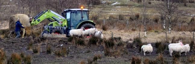 Sheep farmer feeding his flock in Glen Fruin high above Loch Lomondside .jpg 3