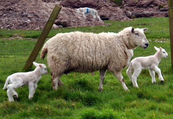 ardardan lambs 2