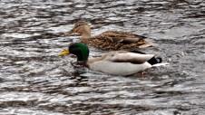 Ducks in the Leven