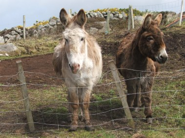 Copy of DONEGAL DONKEYS - Copy