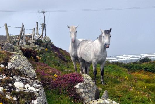 Dan 2 Connemara ponies