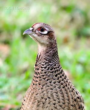 feathers 2 female pheasant.jpg 3
