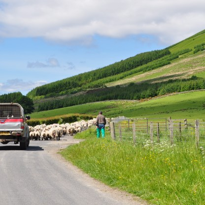 DML - Glen Fruin sheep