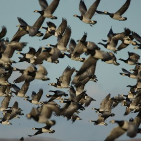 geese cruelty 7