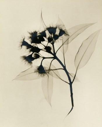"Dr. Dain L. Tasker, ""Eucalyptus X-ray"" (c. 1930s)"