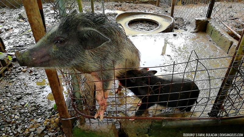 Teodoro's Farm Bustos Bulacan pigs