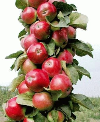 Яблоня колоновидная лучшие сорта описание и фото День