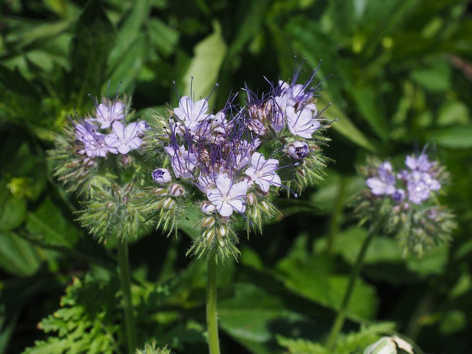 Bijenvoer (Phacelia tanacetifolia) als groenbemester in de moestuin