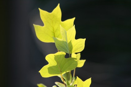 Tulipantræ i modlys
