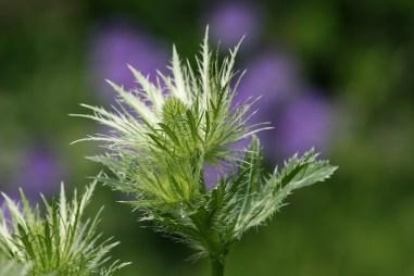 Mandstro er også meget dekorativ, før blomsterne får den flotte blå farve
