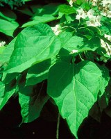 https://i1.wp.com/dendro.cnre.vt.edu/dendrology/images/Catalpa%20speciosa/leaf1.jpg?resize=160%2C200