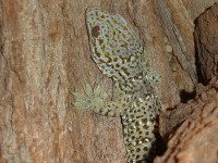 Gekon obrovský Gekko gecko