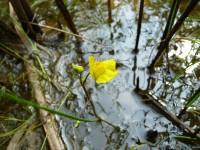 bublinatka jižní Utricularia australis, jedna z našich nemnoha masožravých rostlin