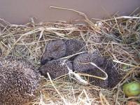 samice se šestii mláďaty - jablky pohrdají, raději mají žížaly:-)