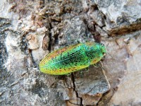 krasec lipový Ovalisia rutilans, čeleď krascovití Buprestidae