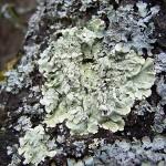 terčovka svraskalá (Parmelia caperata)