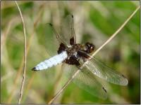 samec vážky ploské (Libellula depressa)