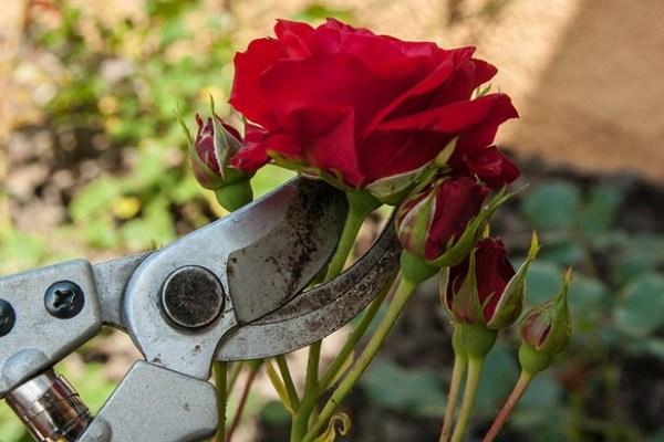 roses 1412502 640 - Elérkezett az ideje a kerti eszközök karbantartásának
